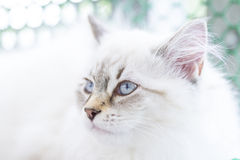 Candid puppy of cat, siberian breed neva masquerade version Royalty Free Stock Image
