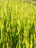 Candid shot of long blades of green grass in a mountain meadow Stock Photography