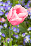 Candid shot of pink tulip Royalty Free Stock Images