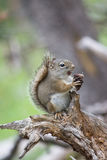 Candid Squirrel Camera. I came upon this squirrel on one of the hiking trails at Yellowstone National Park. It was sitting on this branch eating pine cone after Stock Photo
