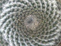Candida del Mammillaria del cactus Foto de archivo libre de regalías
