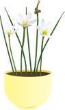 Candida Zephyranthes λουλούδι Στοκ Φωτογραφίες