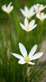 Candida Zephyranthes χορτάρι Στοκ Φωτογραφία