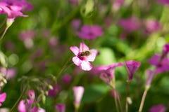 Candidulus de Systoechus en las flores rosadas Fotografía de archivo libre de regalías