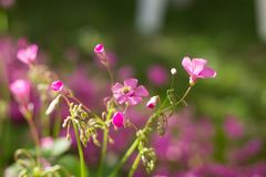 Candidulus de Systoechus en las flores rosadas Fotografía de archivo