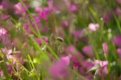 Candidulus de Systoechus sur la fleur de trifolium image stock