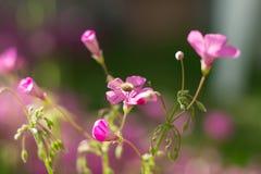Candidulus de Systoechus sur les fleurs roses Photos stock