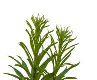 candidum的百合属植物或在白色背景的圣母百合 免版税库存照片