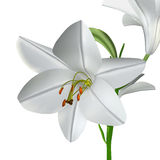 Candidum的百合属植物 免版税库存照片