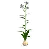 Candidum Lilium Royaltyfria Foton