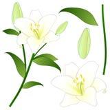 Candidum Lilium, den Madonna liljan eller vit lilja Nationell blomma av Italien också vektor för coreldrawillustration Royaltyfria Bilder