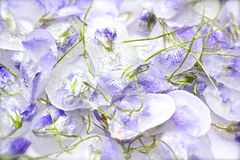 Candied violet flowers. With stalk on white background Stock Photos