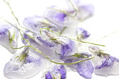 Candied violet flowers Stock Photos