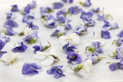 Candied violets. Candied sugared violet flowers drying on parchment paper Stock Photography
