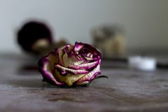 dusty dried rose. Middle focus on rose stock photo