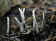 Candle Snuff Fungi - Xylaria hypoxylan Royalty Free Stock Images