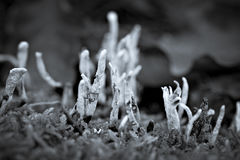 Candle-snuff fungus Stock Images