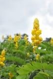 Candlebush, een wilde gele bloem Royalty-vrije Stock Foto
