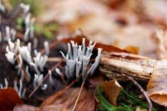 The candlestick fungus Xylaria hypoxylon. Bodies of the candlestick fungus Xylaria hypoxylon stock photo