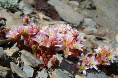 Candolle stonecrop Stock Photo