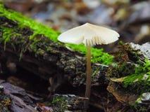 Candolleana de Psathyrella, grupo de setas que crecen en el árbol Imagen de archivo