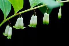 candpick fragrante fotografie stock