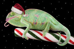 Candy cane Chameleon. A veiled chameleon is eating a candycane while sitting on a large stick of candy Royalty Free Stock Image