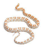 Candy cane Corn Snake or Red Rat Snake Royalty Free Stock Images