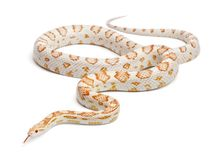 Candy cane Corn Snake or Red Rat Snake, Pantherophis guttatus, i Royalty Free Stock Photos