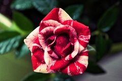 Candy cane striped mini rose royalty free stock images