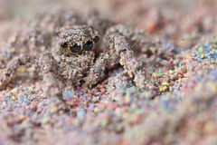 Candy-Coated Jumping Spider Royalty Free Stock Image