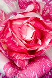 Candy Stripe Rose Royalty Free Stock Images