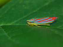 Candy Striped Leafhopper Stock Image