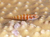 Candycane pygmy goby. In Bohol sea, Phlippines Islands Royalty Free Stock Images