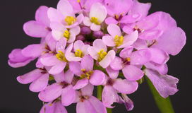Candytuft Foto de Stock Royalty Free