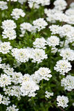 Candytuft. White candytuft in a spring garden Stock Image
