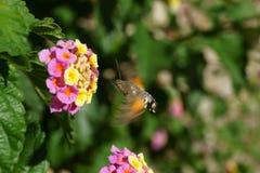 Candytuft amarillo y rosado con la polilla de halcón Imagen de archivo