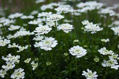 Candytuft in bloom after rain. Candytuft in bloom in the spring on the garden Royalty Free Stock Photos