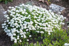 Candytuft in the garden Stock Image
