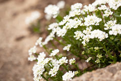 Candytuft on a garden step Royalty Free Stock Image