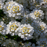 Candytuft (Iberis) in drops of dew. Royalty Free Stock Photos