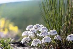 Candytuft selvaggio di fioritura della Crimea Immagine Stock