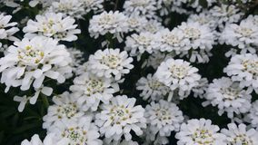 Candytuftgebied royalty-vrije stock foto