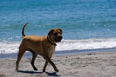 Cane 2 della spiaggia Immagini Stock Libere da Diritti