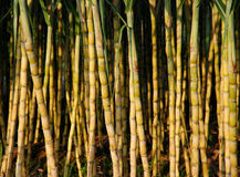 Cane. Fields of cane in the sunshine Royalty Free Stock Photos