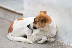 Cane abbandonato della via Immagini Stock