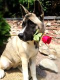 Cane adorabile con la rosa fotografia stock libera da diritti