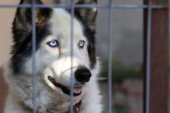 Cane adorabile del husky Immagini Stock Libere da Diritti