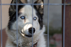 Cane adorabile del husky Fotografia Stock