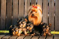 Cane adulto dell'Yorkshire terrier con i cuccioli Fotografia Stock